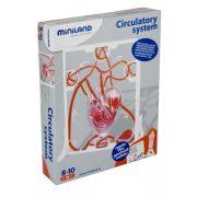 Emberi szív 3D-s modellje